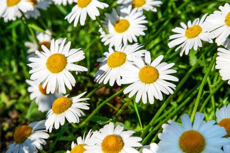 dia soleado: Camomiles crecen en el jardín de flores en un día soleado.
