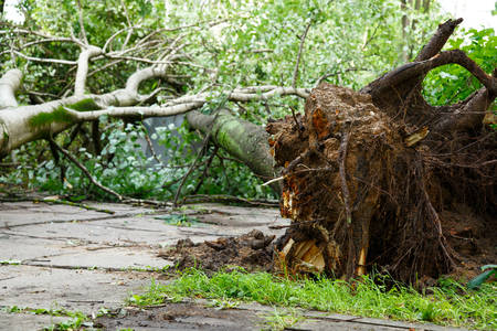 Big tree fall down after hurricane. Bad weather concept