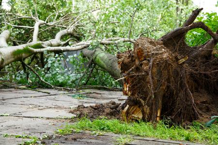 Un gran árbol se caiga después del huracán. concepto de mal tiempo Foto de archivo - 68969021
