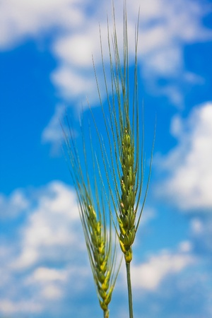 Ripping wheat ears on a background of cloudy sky photo