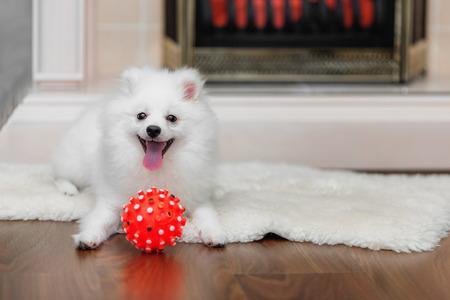 sheepskin: Pomeranian spitz with dog toy on sheepskin in front of decorative fireplace