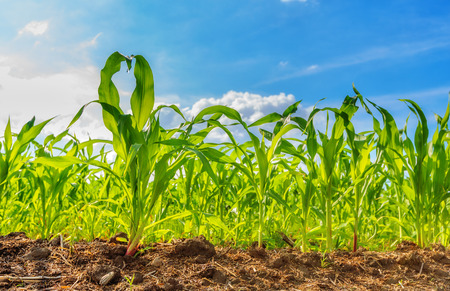 View of corn field and blue sky in summer day Imagens