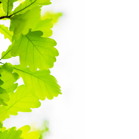 branches and leaves: Oak leaves on the left side of white background