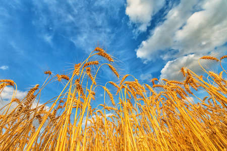 Wheat ears on a background of cloudy sky. Shallow dof