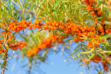 Closeup of branch with orange ripe sea buckthorn berries and green leaves