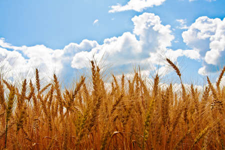 Ears of wheat and cloudy sky in summer day