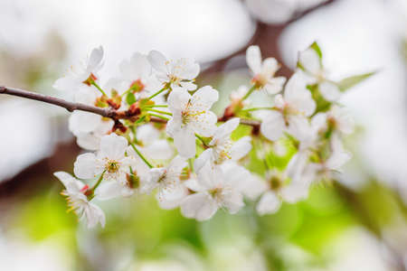 Closeup of white cherry flowers in spring time. Shallow dof