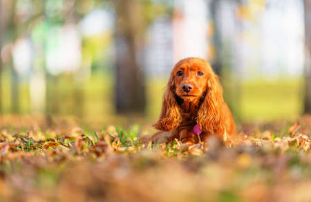 English cocker spaniel laying on autumn leaves in park. Shallow dof