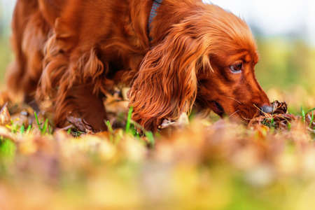 English cocker spaniel putting his nose to autumn leaves in park. Shallow dof