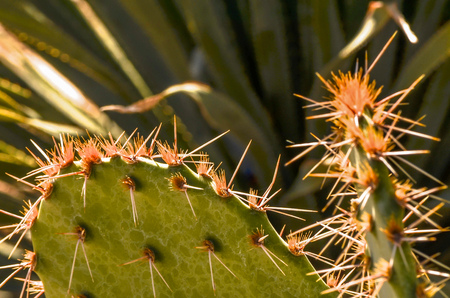 Prickly Pear cactus with spines shining in the sun
