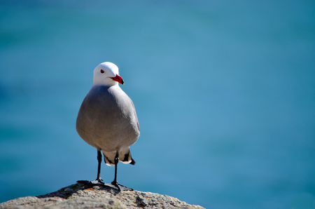 Seabird standing on rock with blue ocean background Zdjęcie Seryjne