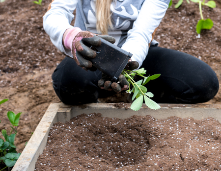 Woman planting strawberries loosening plant out of pot ready to plant in raised planter bed