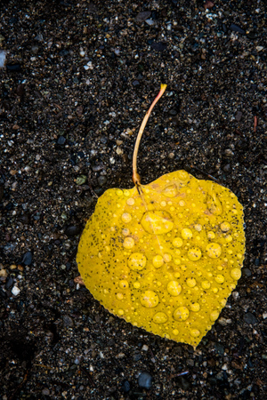 Single yellow leaf covered with rain drops