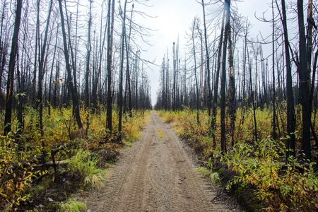 Path through burned forest with new undergrowth