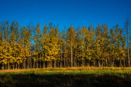 Yellow trees in the fall against bright blue sky Zdjęcie Seryjne