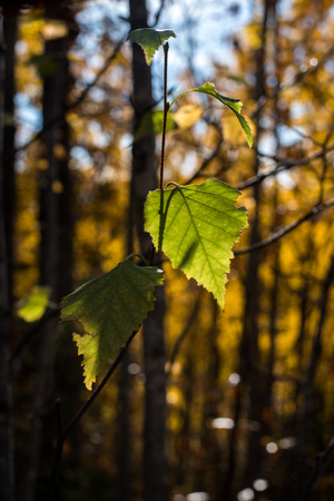 Two green leaves against a blurred fall background