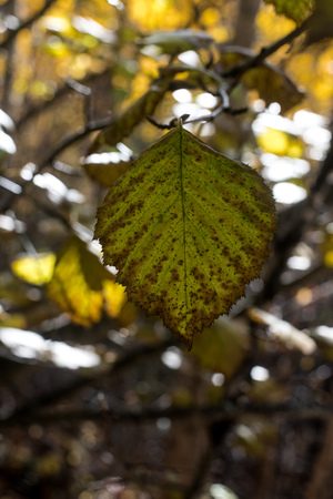Single green leaf against a blurred fall background Zdjęcie Seryjne