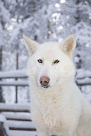 saami: Portrait of delightful husky with clever eyes, huskies nursery in Finland, Lapland