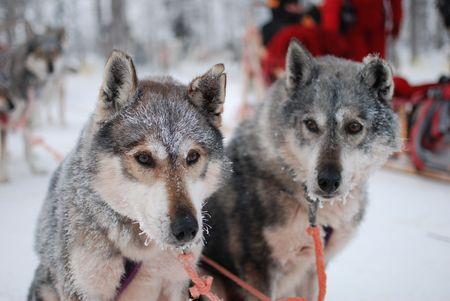 saami: Two sled dog huskys in harness with hoarfrost on a wool after long run on snow with sledge Stock Photo