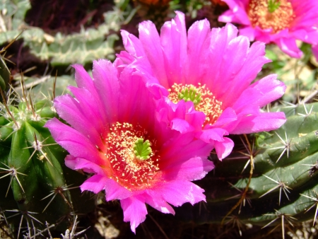 Pink hedgehog cactus blossoms photo
