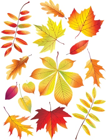 Autumn leaves on white background. Vector illustratoin