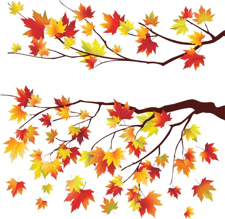 autumn leaf frame: Autumn maple tree branches on white background