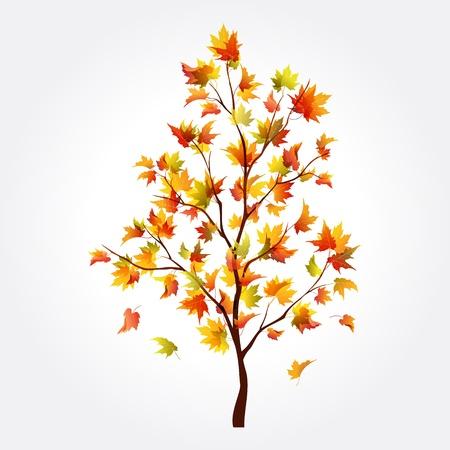deciduous tree: Oto�o hermoso �rbol de arce para el dise�o