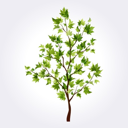 young leaves: Beautiful maple tree for summer or spring design