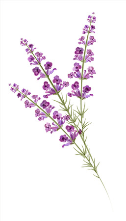 Lavender  Watercolor drawing  Vector