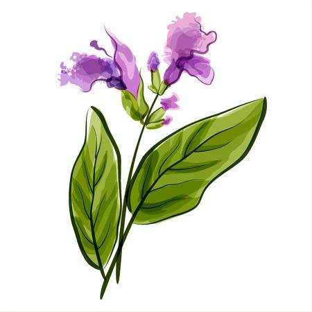Salvia Sage Vector illustration Meadow flower