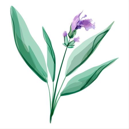 plantas medicinales: Sage. Salvia. Pradera de flores. Ilustración del vector. Vectores