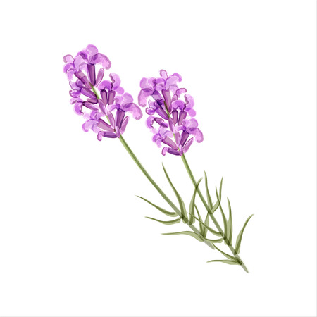petal: Lavender. Herb flower. Vector illustration. Watercolor sketch