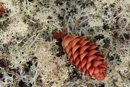 royale: Liquen White Pine Cone y en Isle Royale Parque Nacional