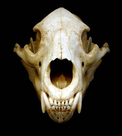 Isolement noir de crâne d'ours sur le noir