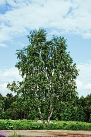 betula: Betula at summer Stock Photo