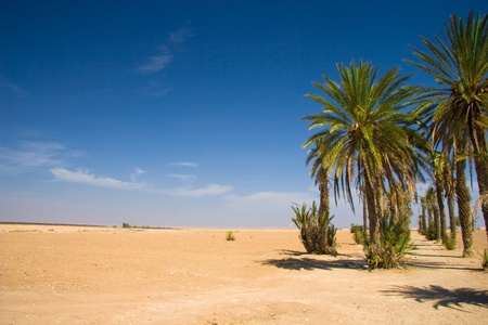 Palms in the desert - Morocco