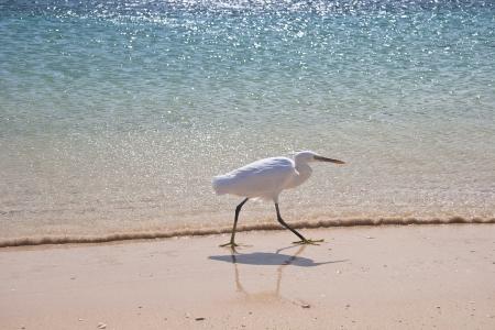 Small White egret on the egyptian beach photo