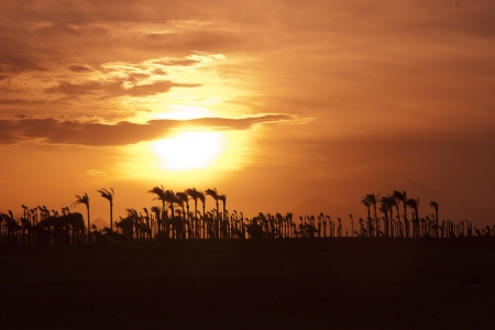 Sunset in the desert - Palm Silhouettes photo