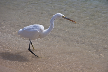 Small White egret on the egyptian beach photo
