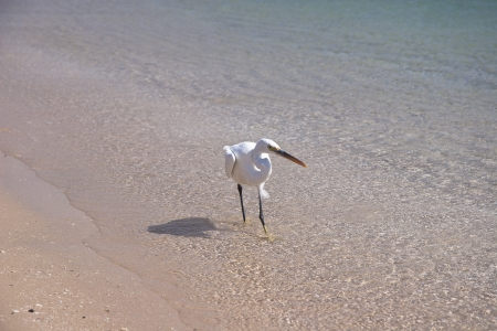 Small White egret on the egyptian beach Stock Photo - 14393312