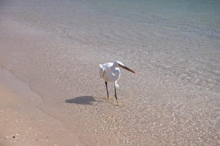 Small White egret on the egyptian beach Stock Photo - 14393312