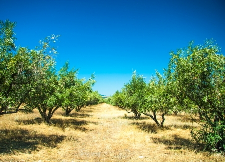 Olive trees at Greece country side photo
