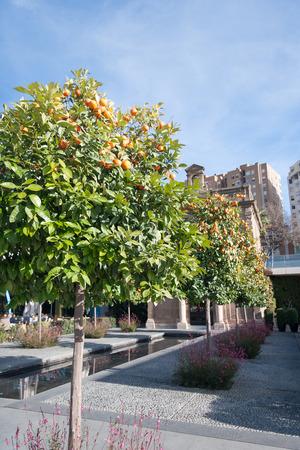 naranja arbol: Naranjo - Citrus sinensis