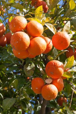 citrus  sinensis: Orange tree - Citrus sinensis Stock Photo