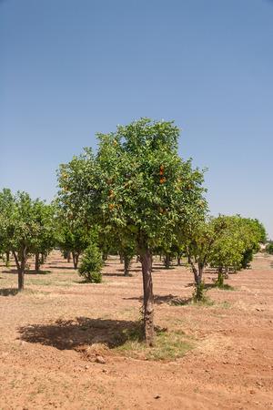 citrus  sinensis: Orange trees - Citrus sinensis Stock Photo