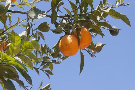 sinensis: Orange trees - Citrus sinensis Stock Photo