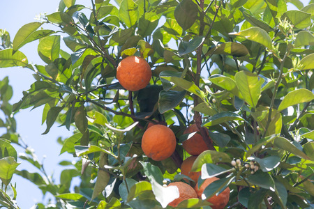citrus  sinensis: Orange trees with fresh fruits - Citrus sinensis