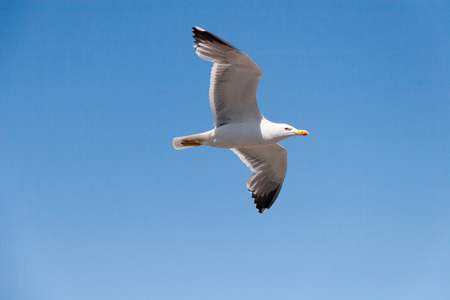 sea gull: Sea gull in the sky at sunny day Stock Photo