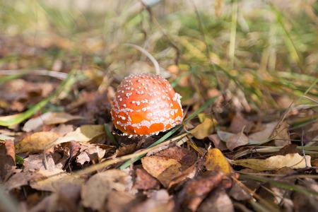 fall mushroom: Mushroom among grass and leaves at fall Stock Photo