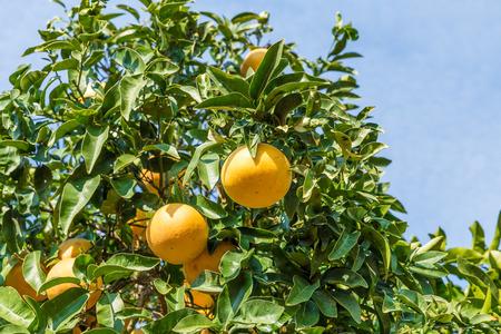 naranja arbol: Orange Tree con el ramo de naranjas maduras